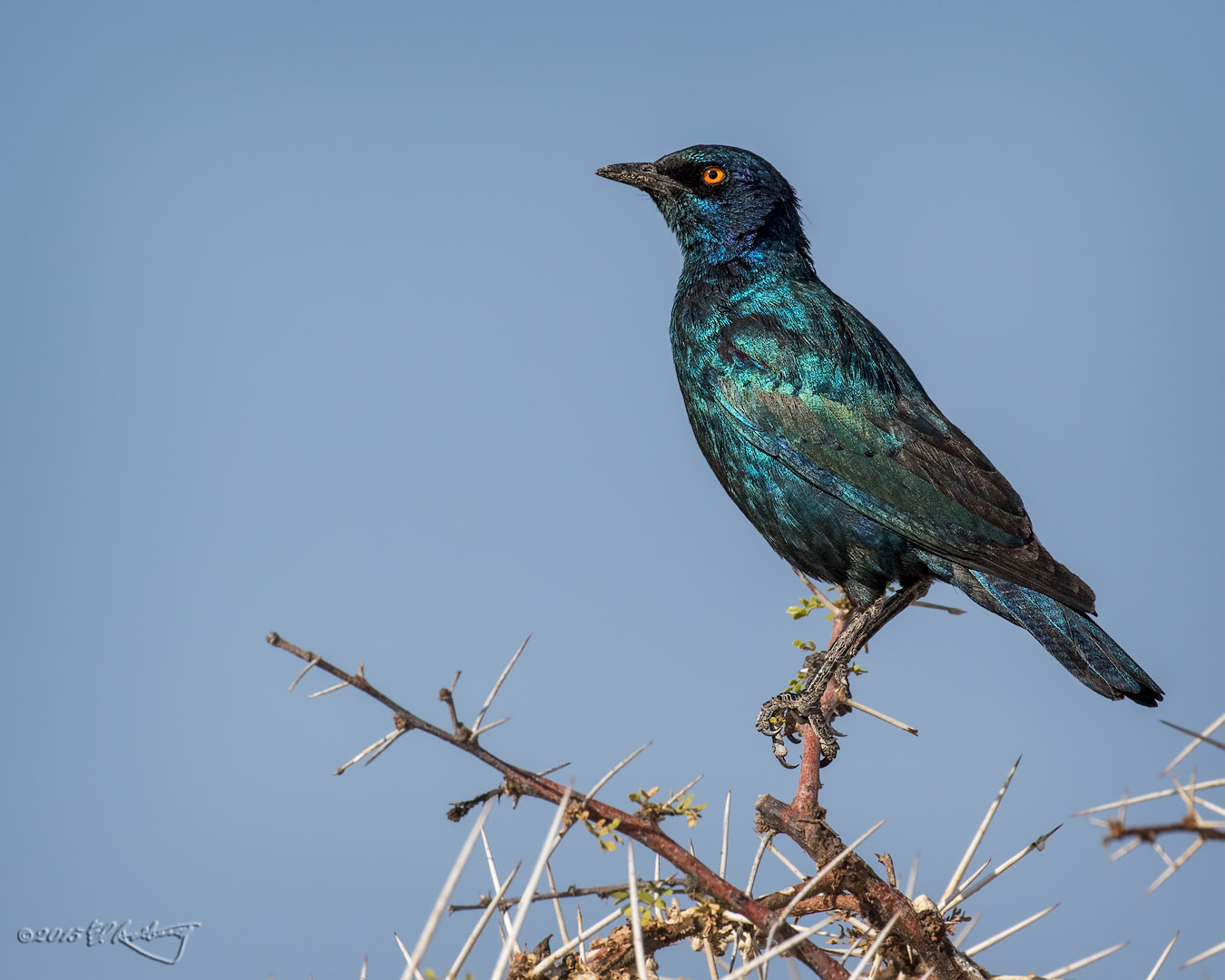 Burchells_Starling