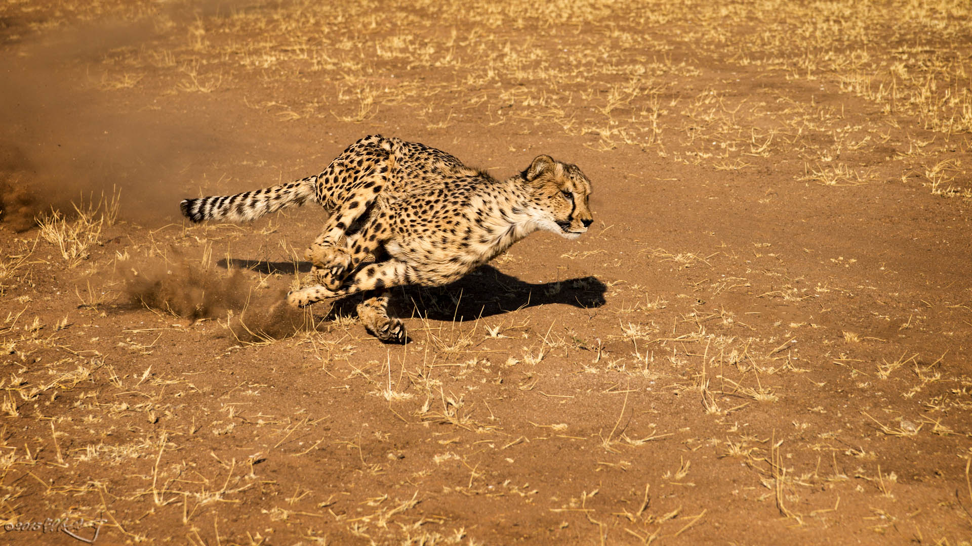 Cheetah_-_full_tilt