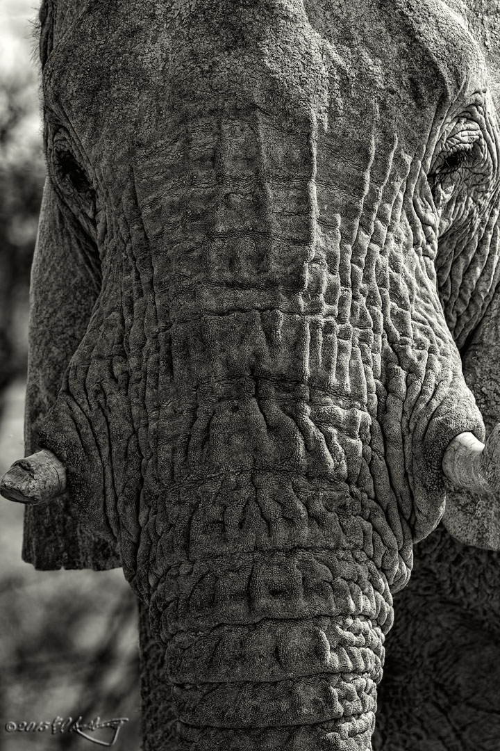 Elephant_close-up