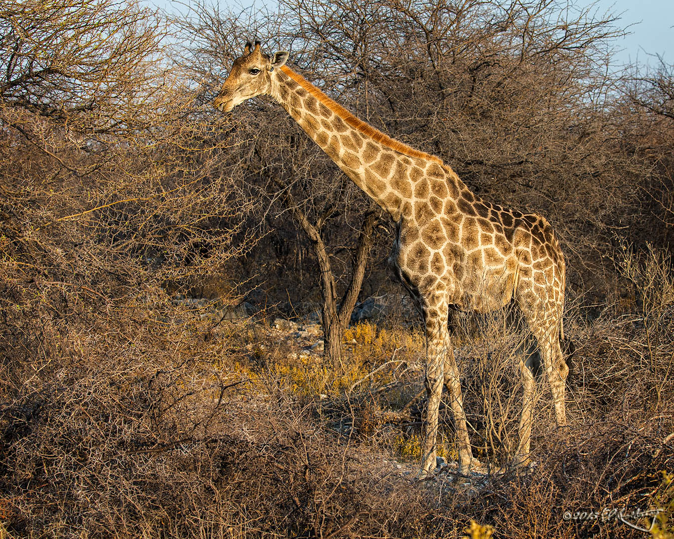 Etosha_Giraffe_in_early_morning_light