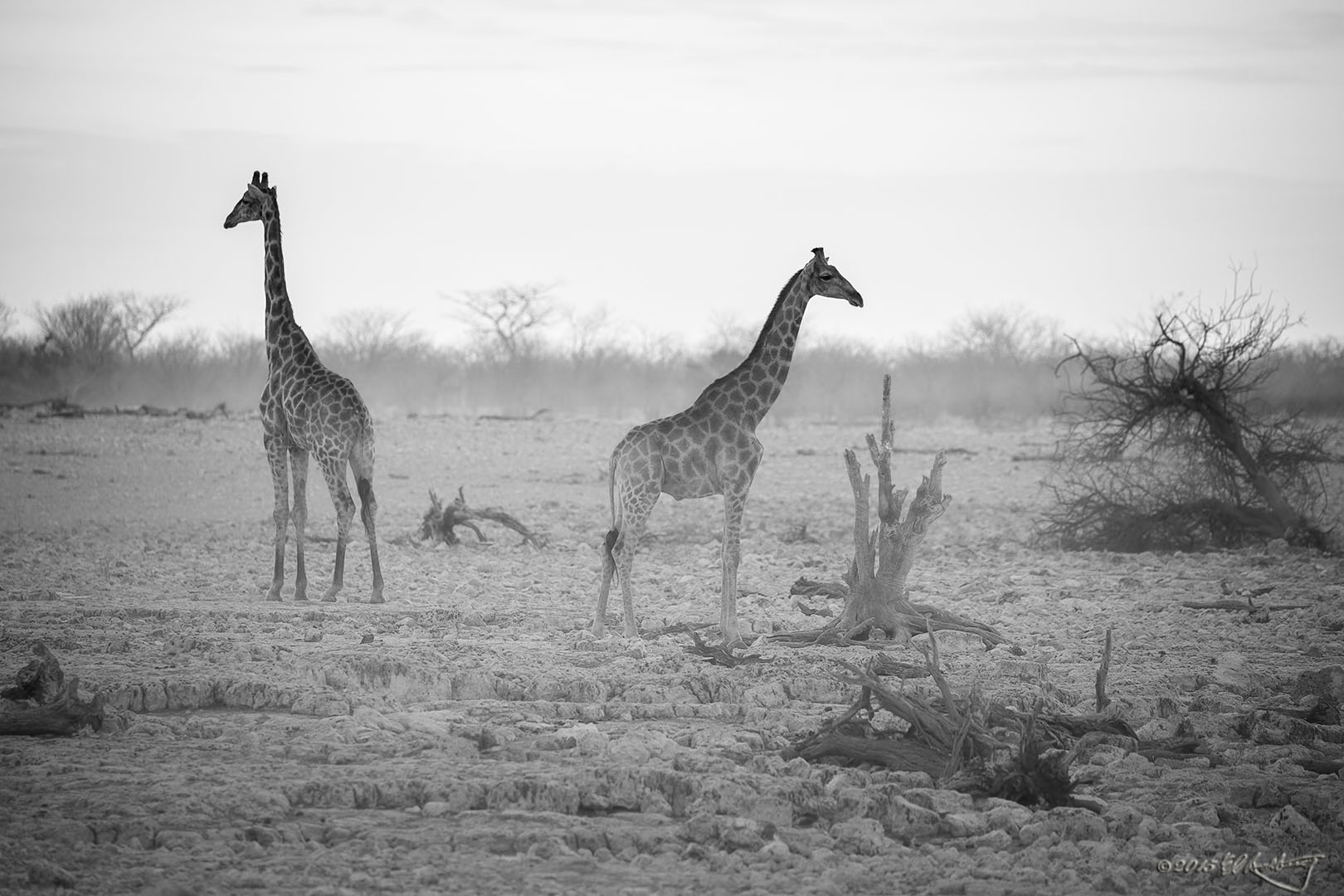 Giraffes_in_the_mist