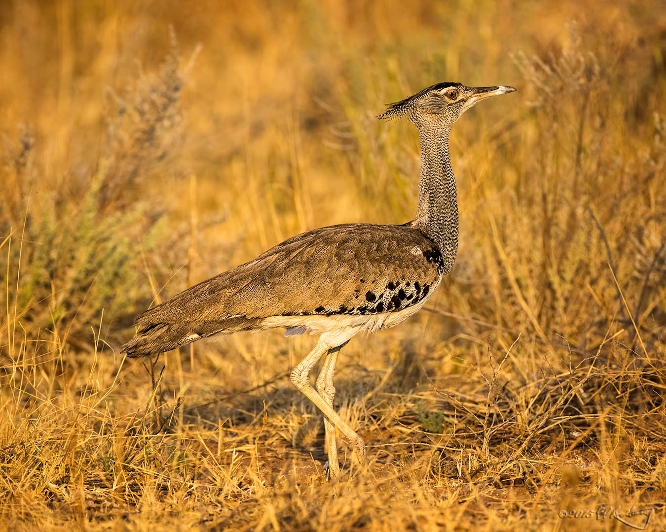 Kori_Bustard_in_golden-hour_light