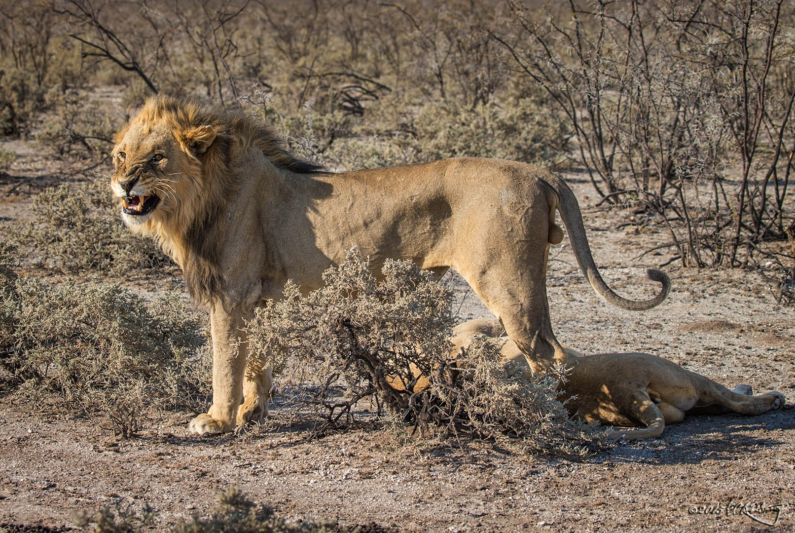 Lion_stands_over_lioness