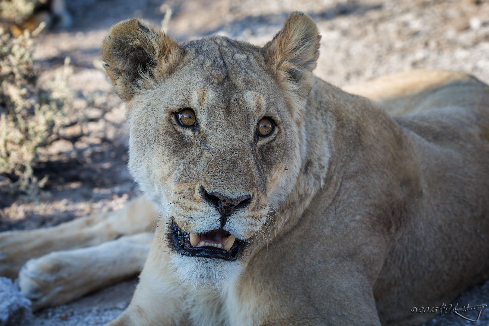 Lioness_portrait_in_shade
