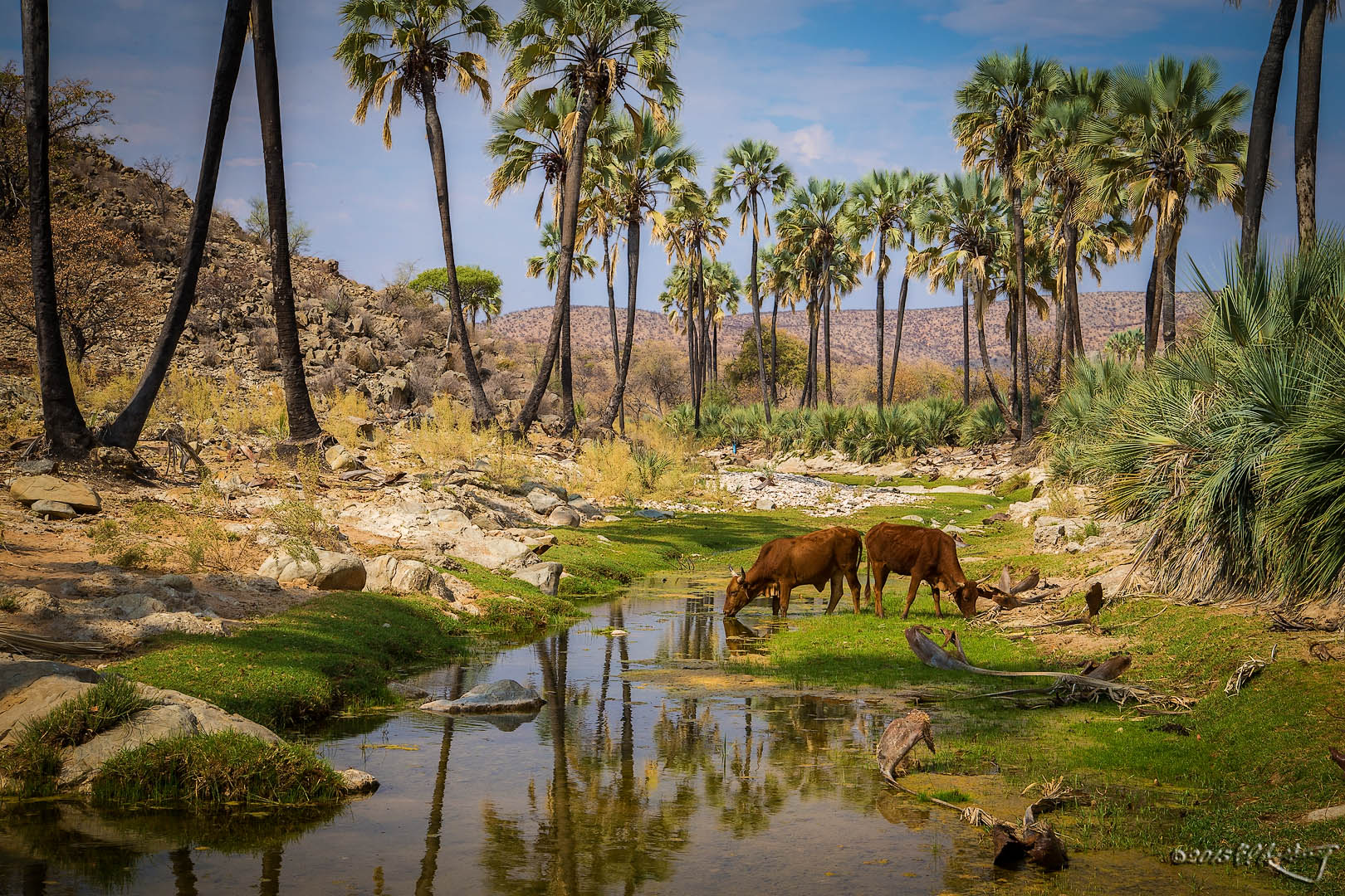 Makalani_Palms_along_Namibian_river