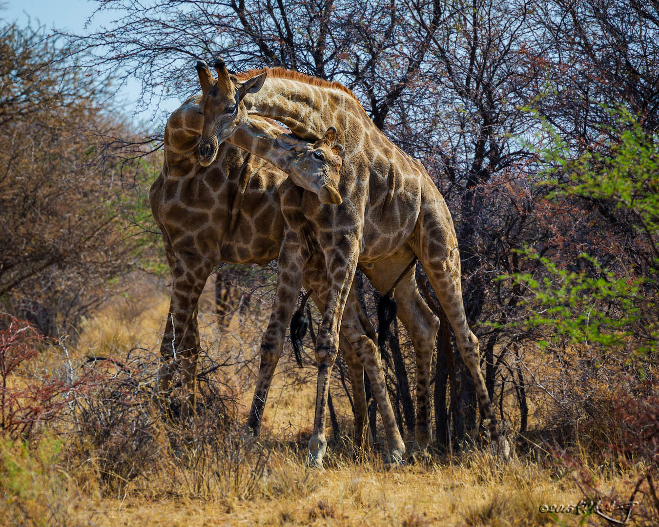 Reticulated_Giraffe_males_fighting