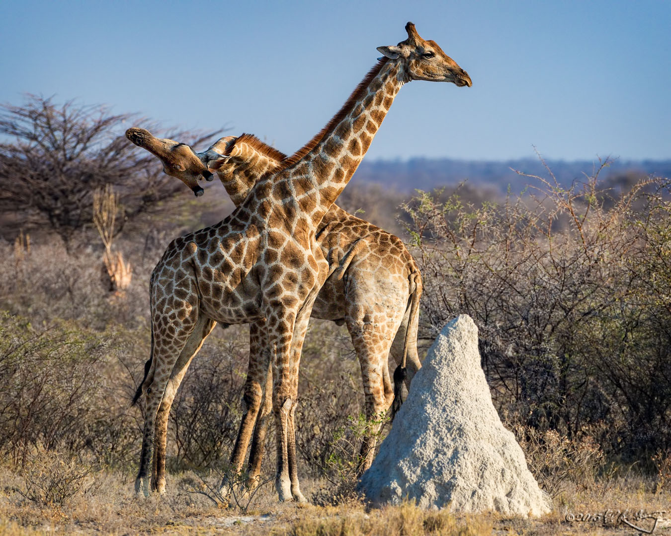 Reticulated_Giraffe_males_fighting_2