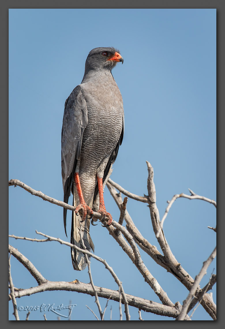 Souther_Pale_Chanting_Goshawk