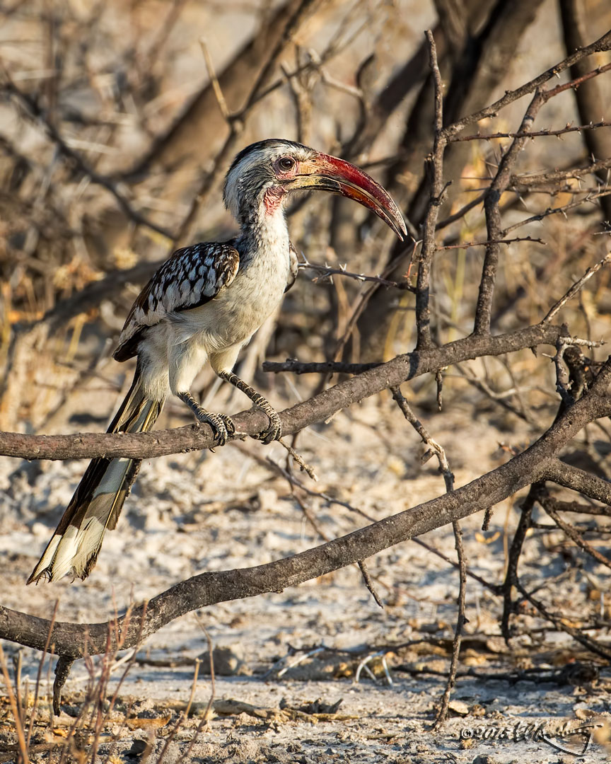 Southern_Red-billed_Hornbill