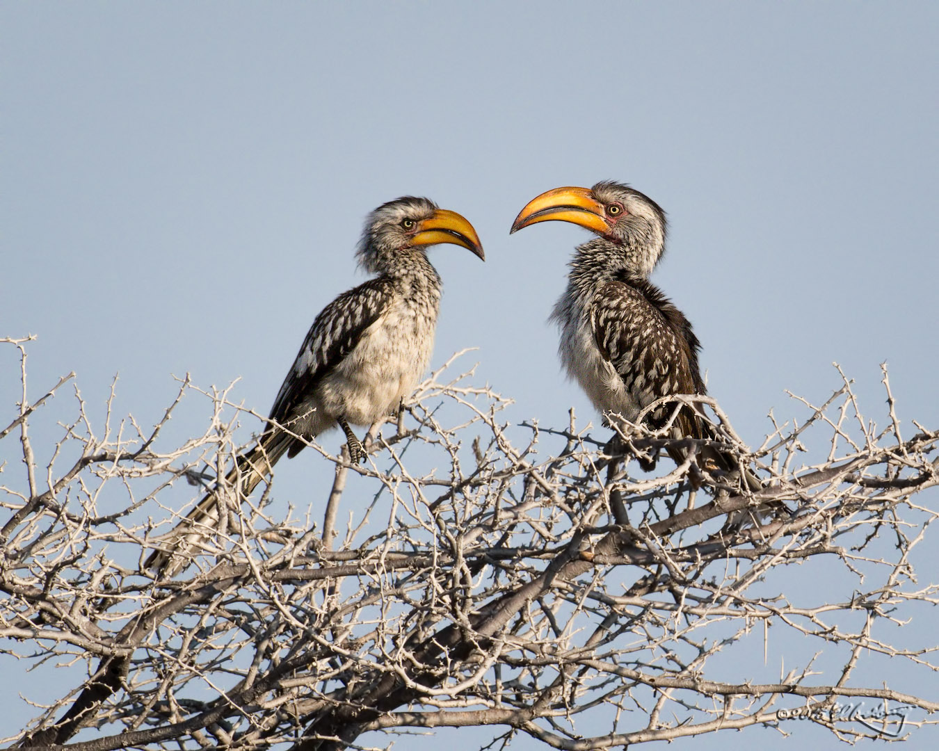 Southern_Yellow-billed_Hornbills