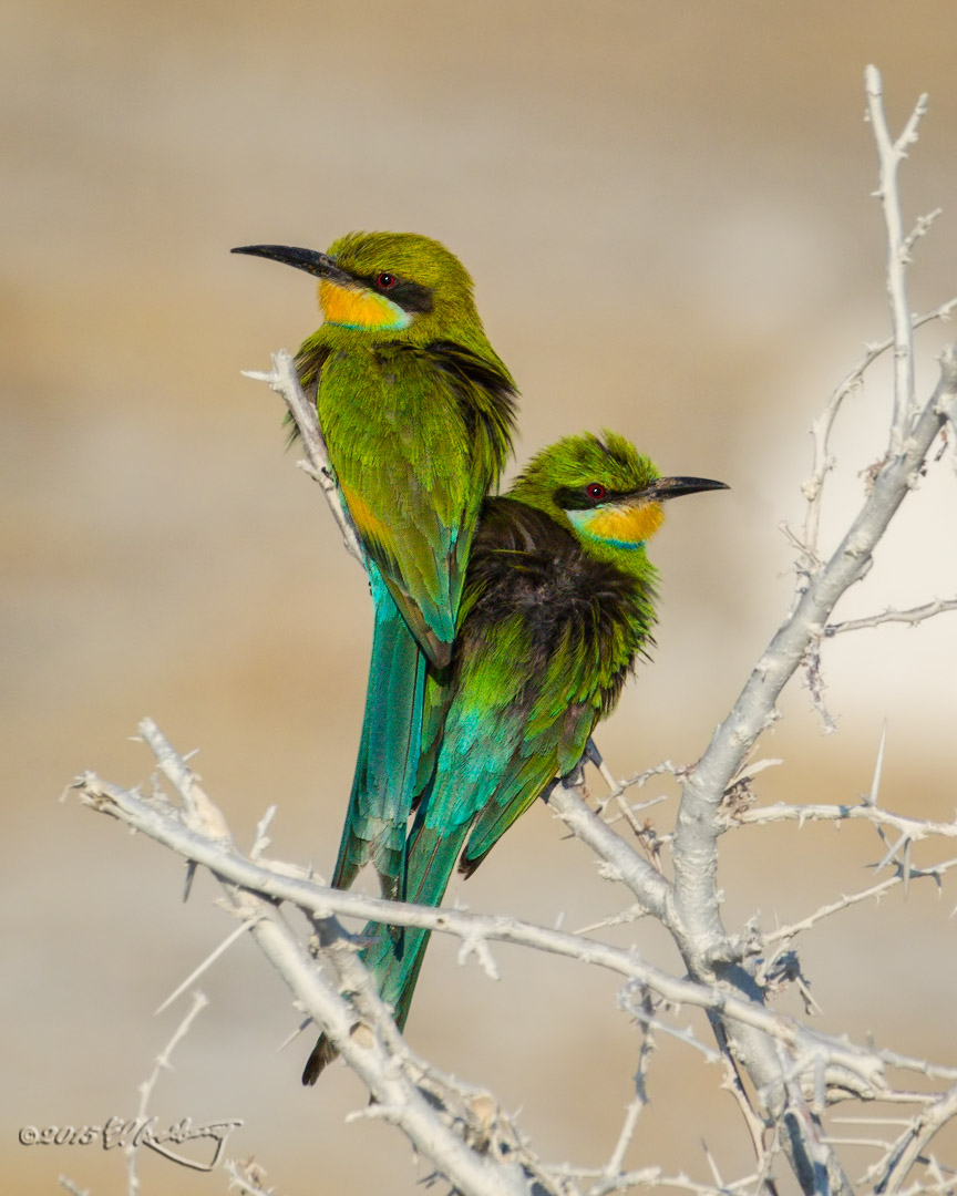 Swallow-tailed_Bee_Eaters