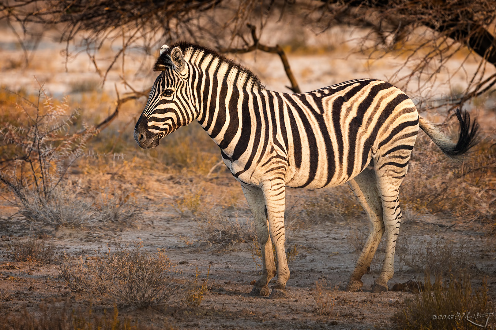 Zebra_in_profile