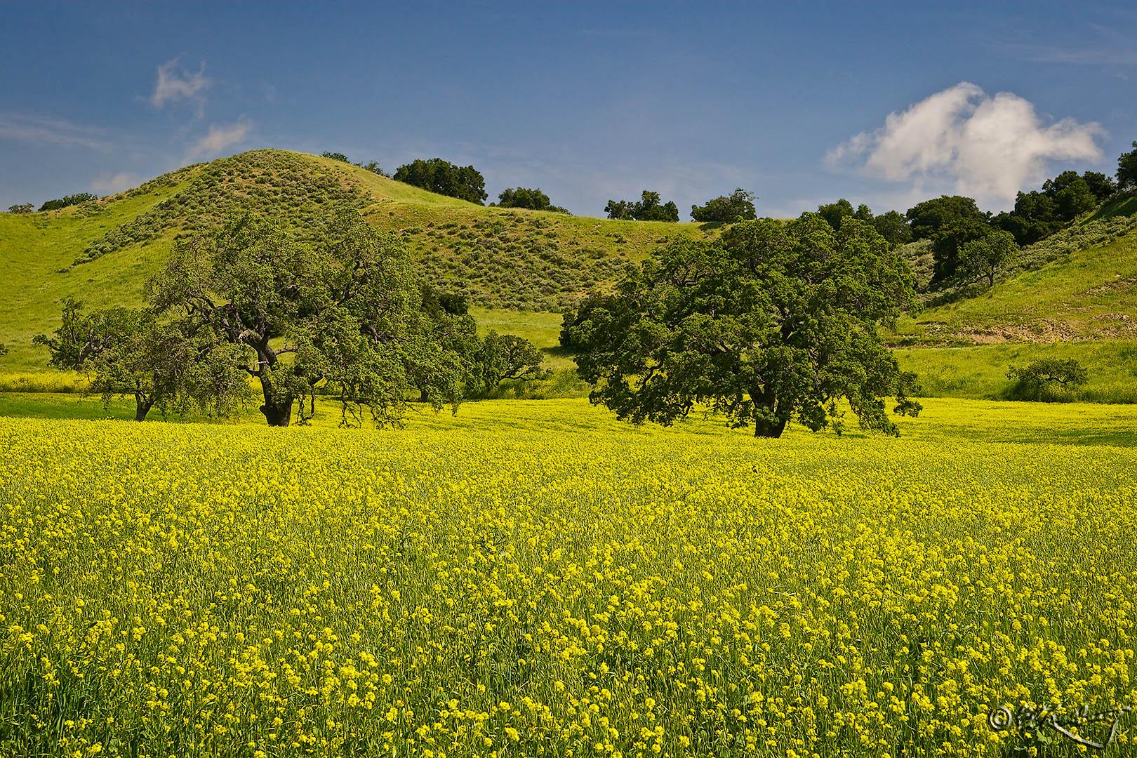 Mustard_Field-c44