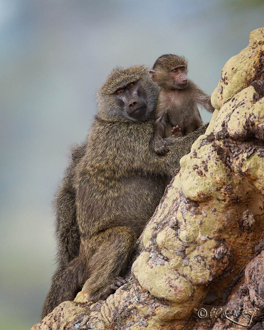 Baboon_mother_and_child-c99