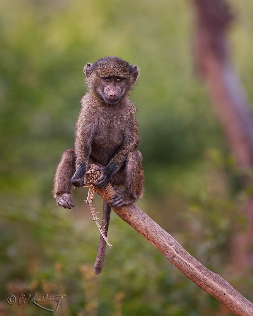 Baboon_on_a_Stick-c36