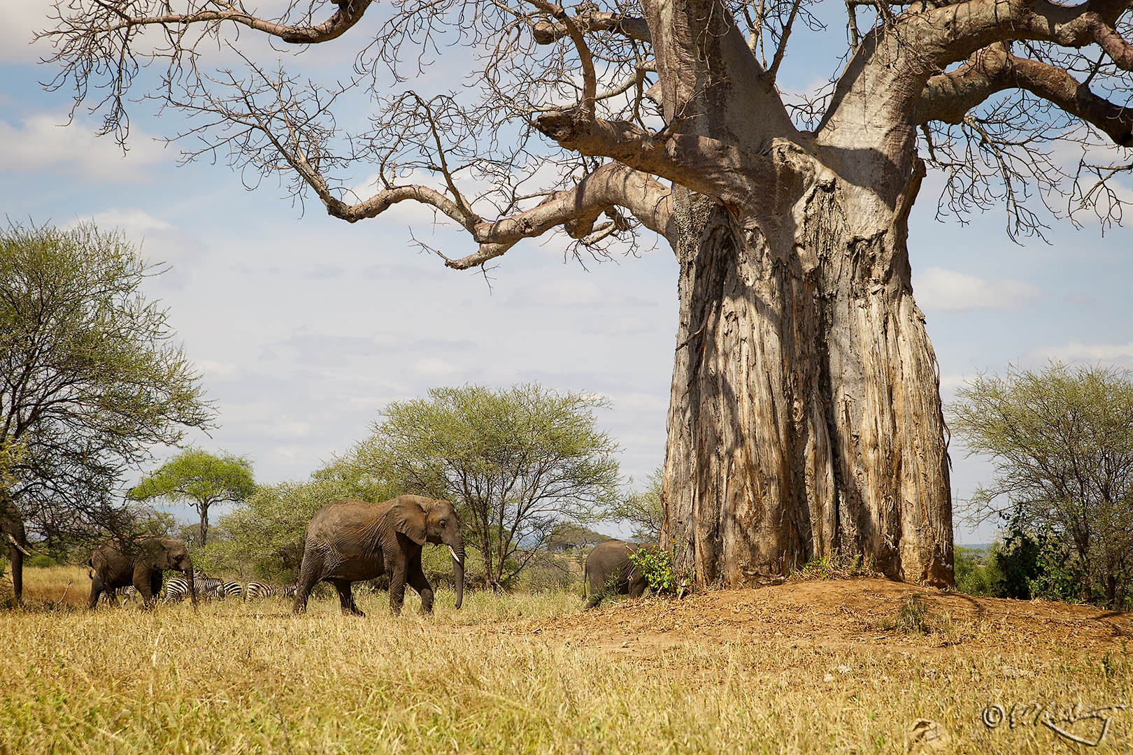 Elephants_at_Baobob_Tree