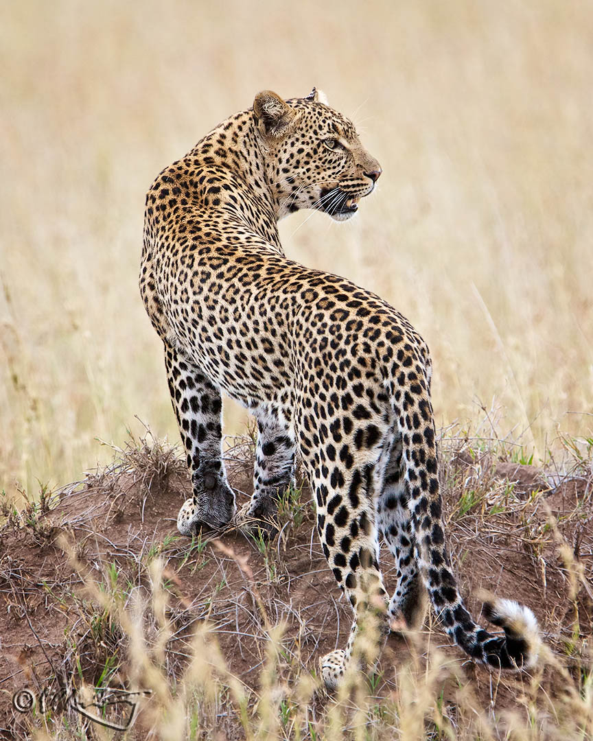 Leopard_ascends_mound-c66