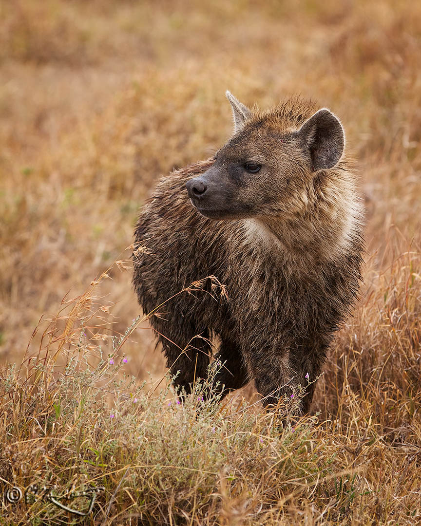 Spotted_Hyena-c71