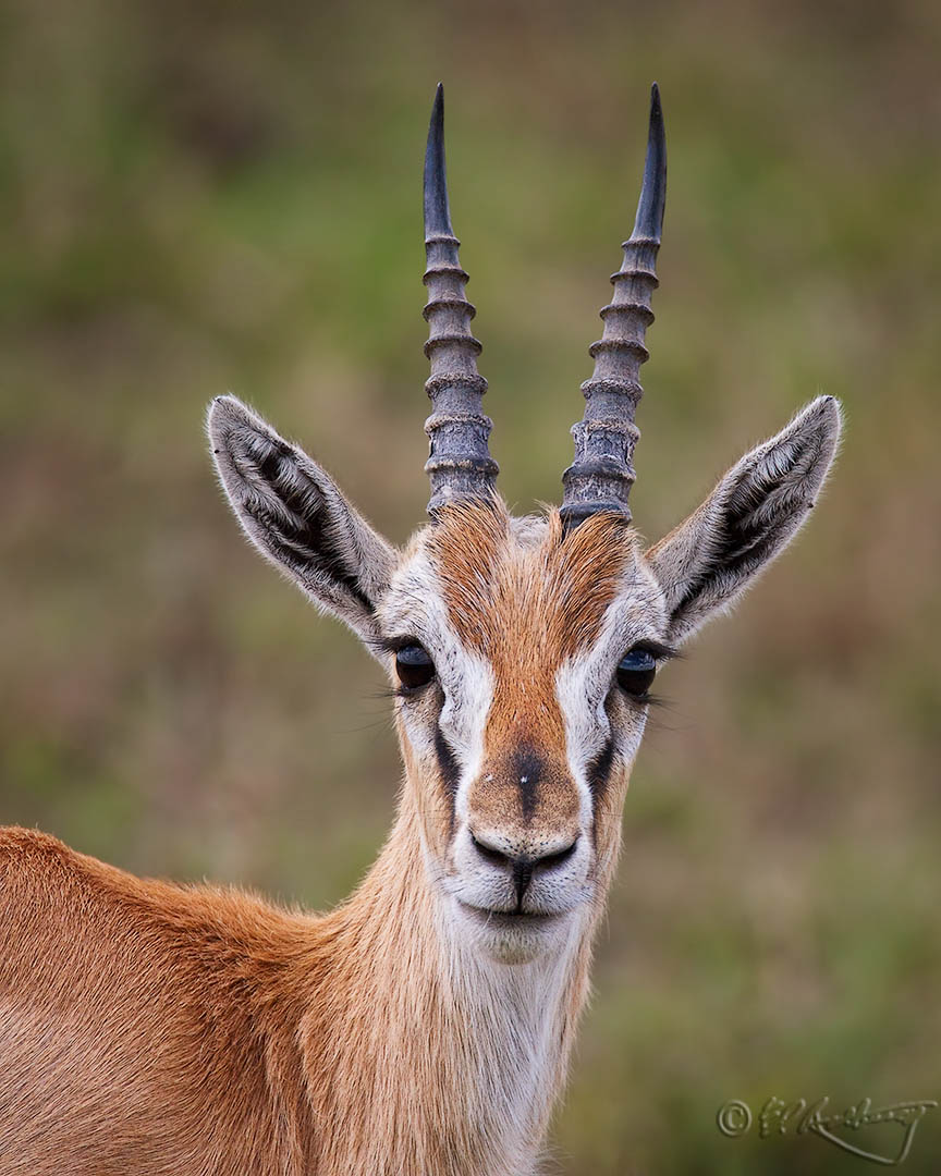 Thompsons_Gazelle_male_portrait
