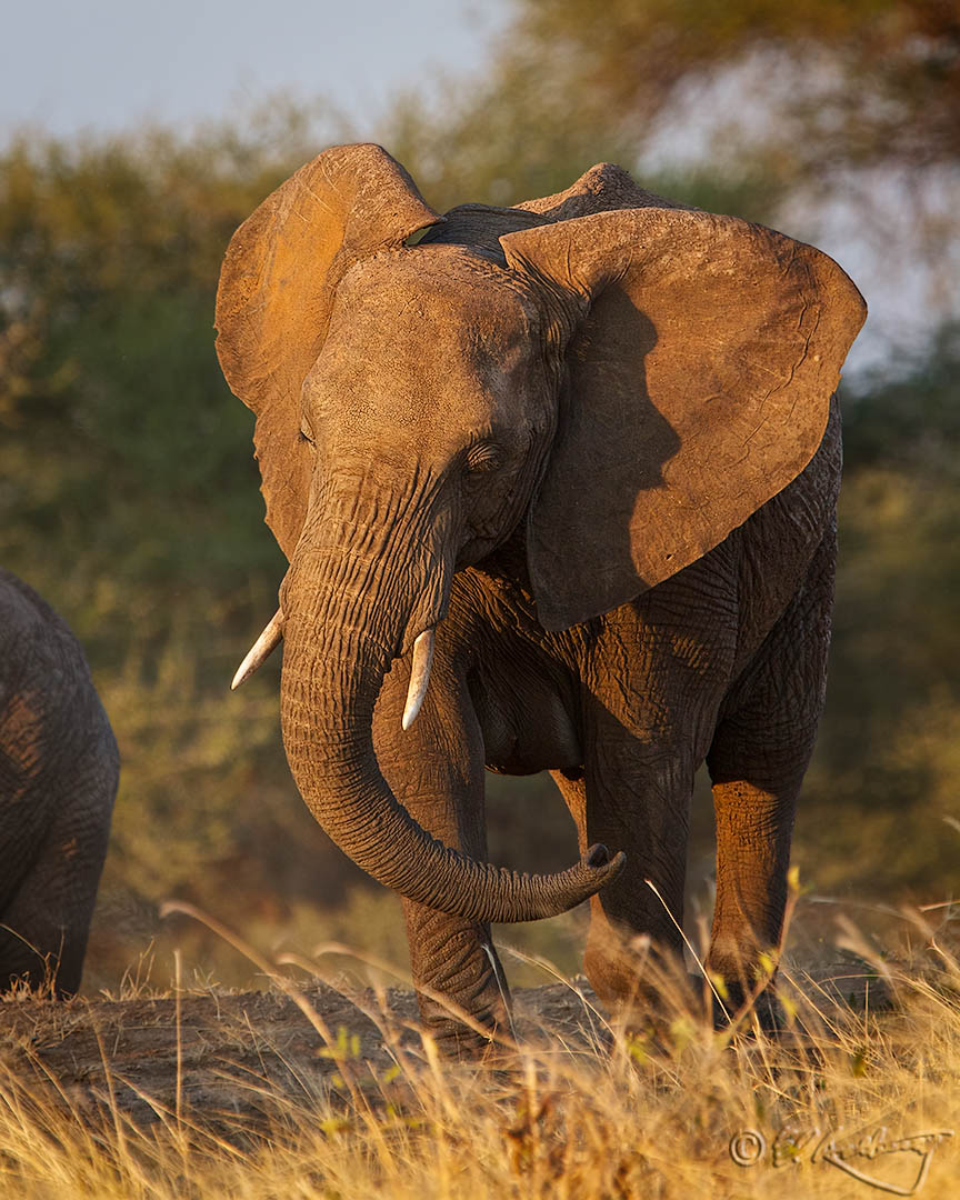 African_Elephant_in_evening_light