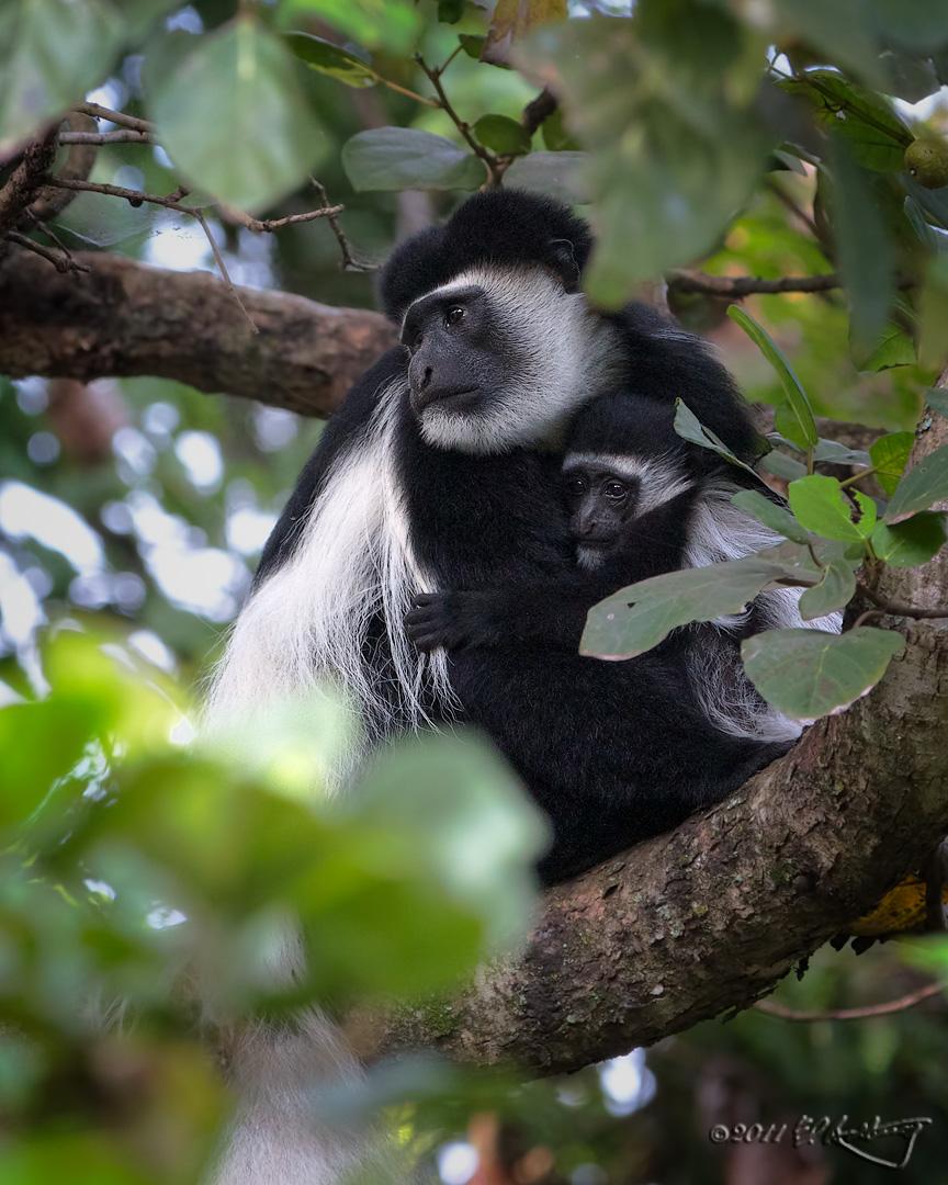 Colobus Monkey and juvenile