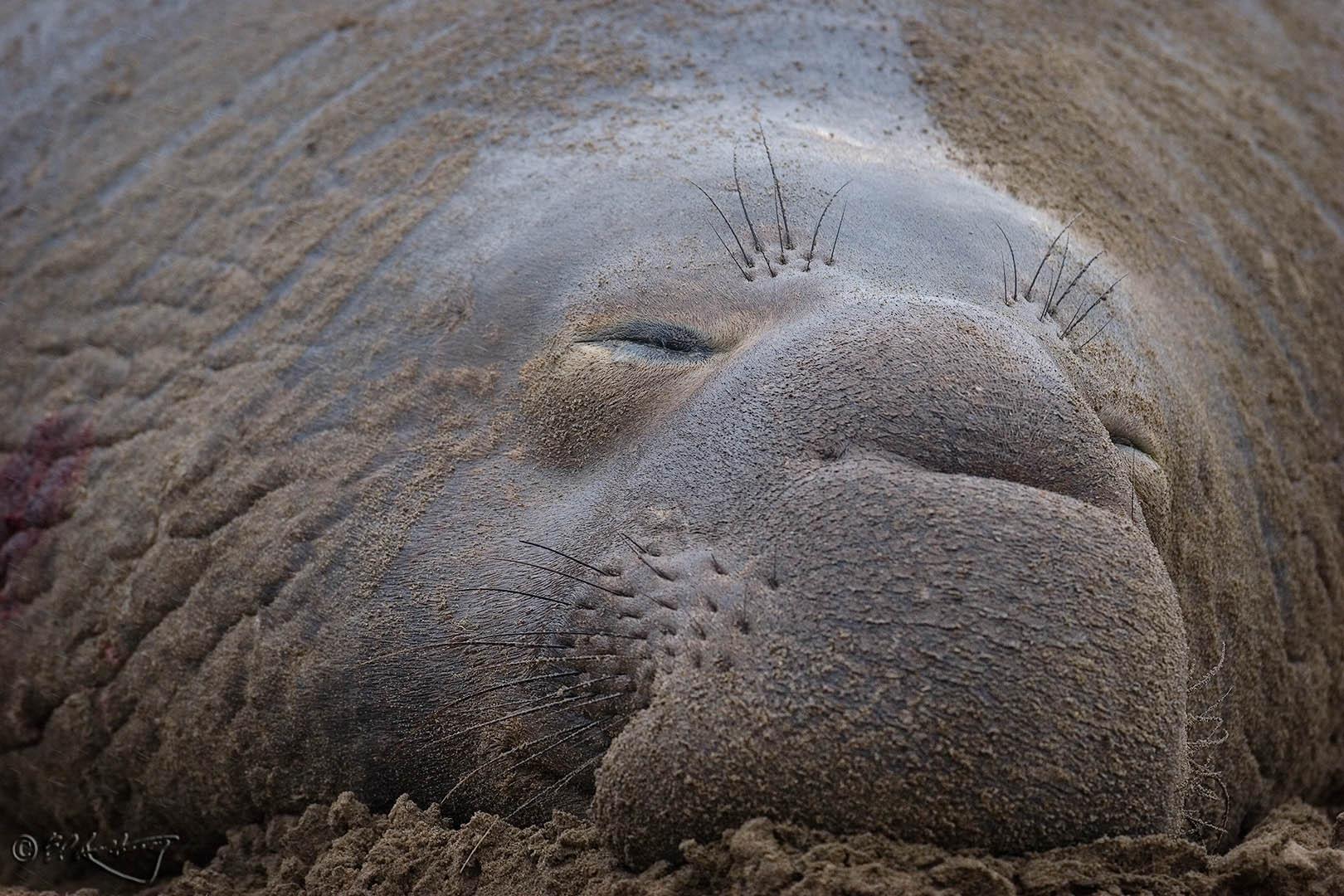 Elephant_Seal_-_Sleeping_Bull