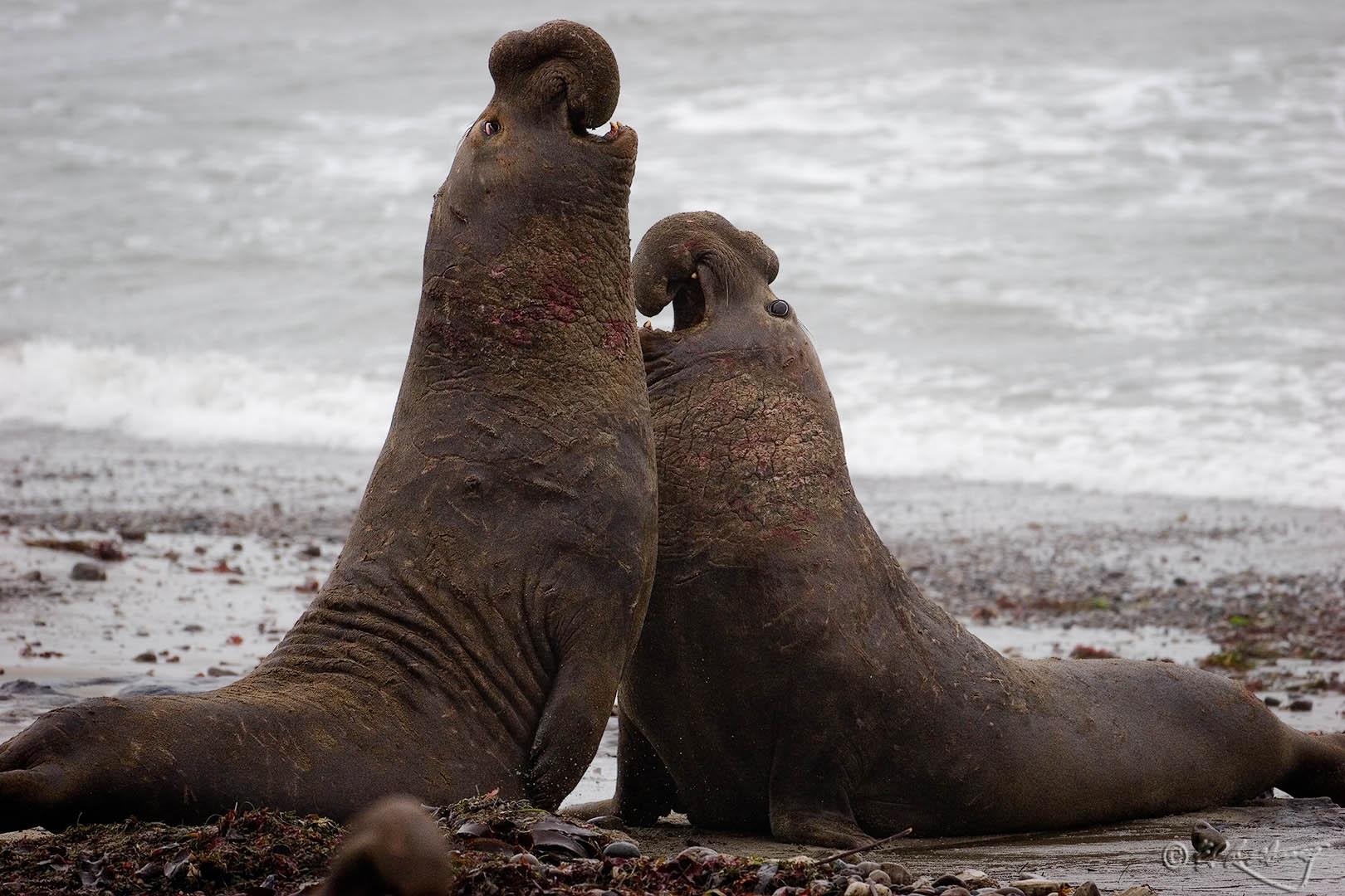 Elephant_Seals_-_Bull_Fight