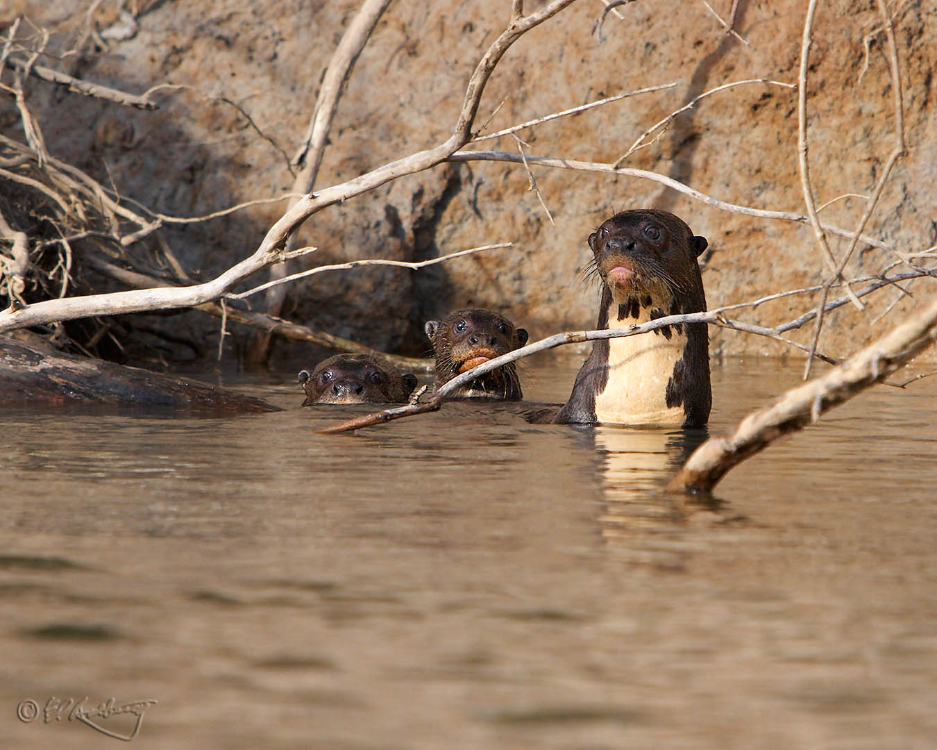 Giant_River_Otters_-_K_Group