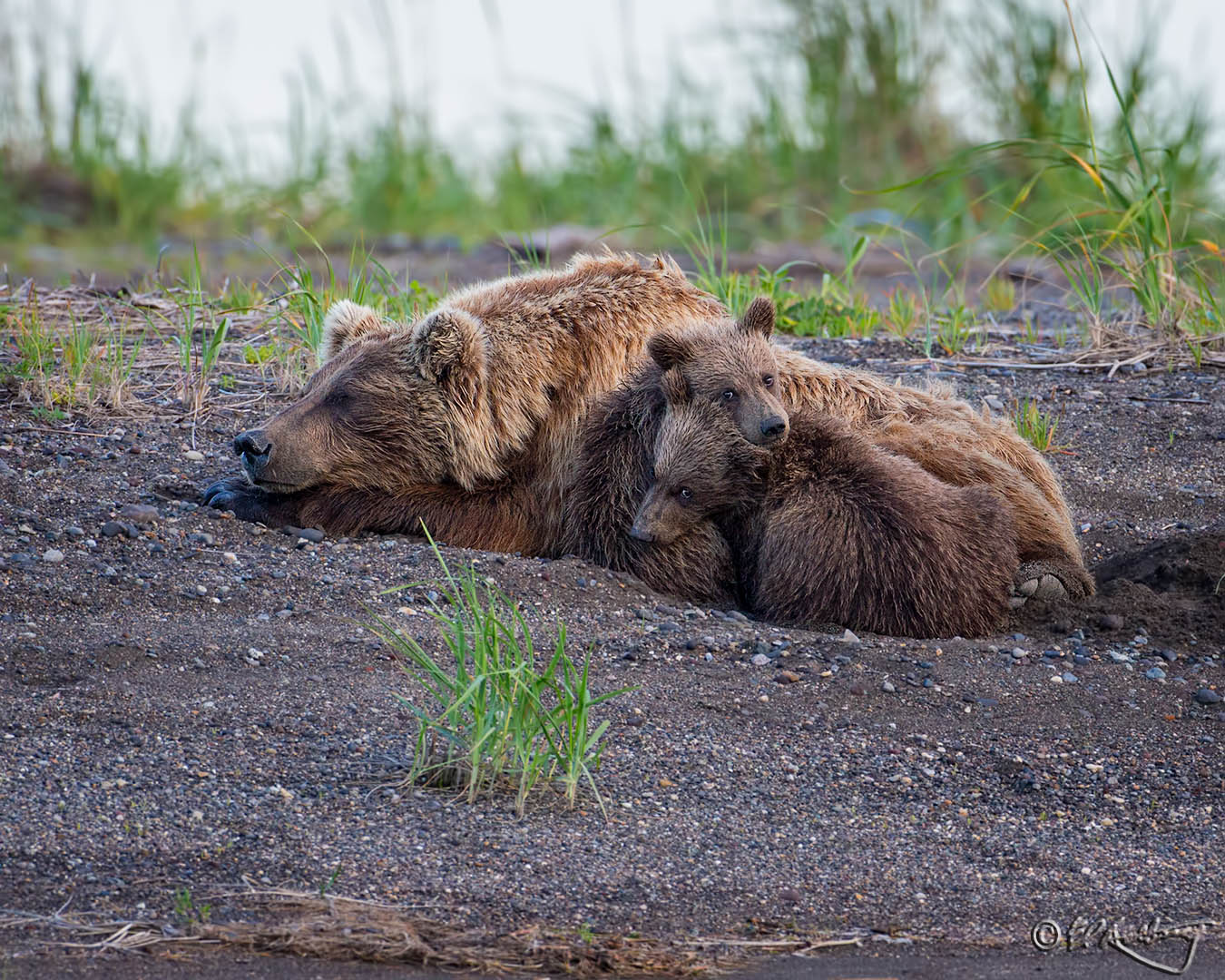 Grizzly_Bears_-_tender_moment