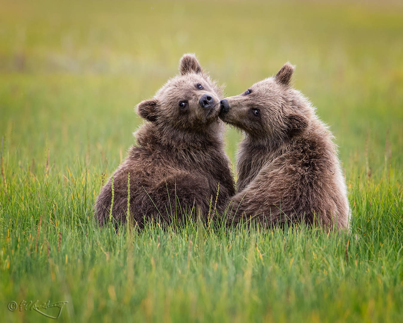 Grizzly_Cubs_-_sibling_love-c62