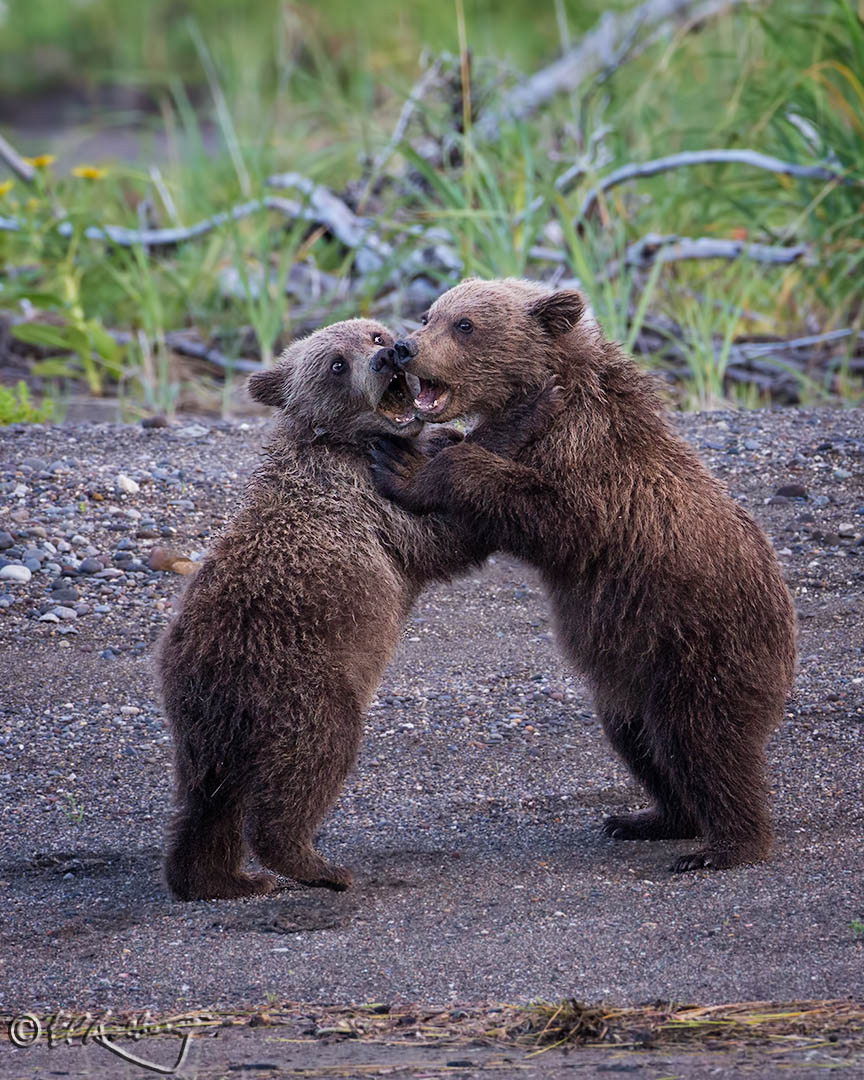 Grizzly_Cubs_-_sparring