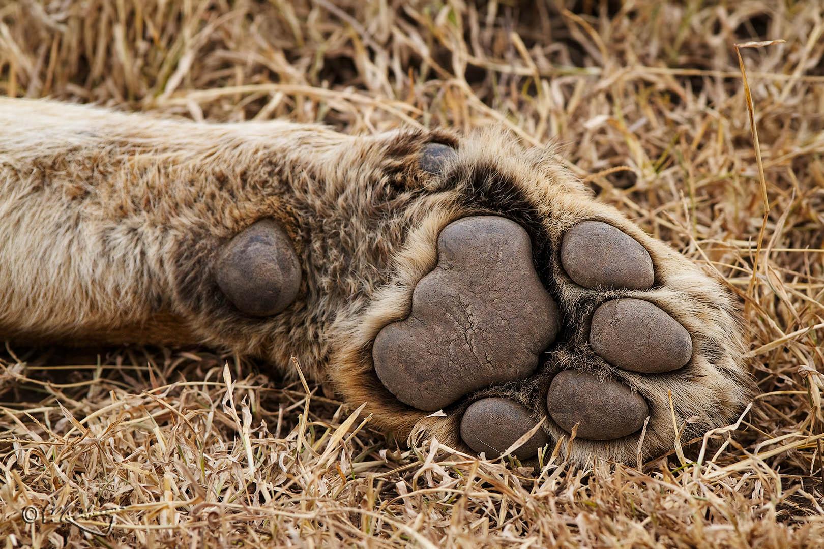 Lioness_Paw-c20