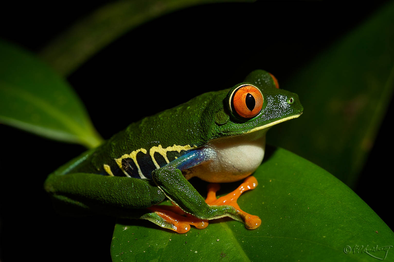 Red-eyed_Tree_Frog-c20