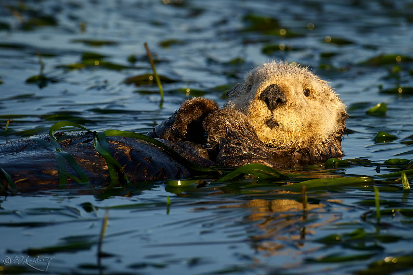 Sea_Otter_in_eel_grass