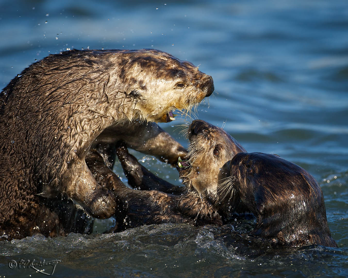 Sea_Otters_at_play-c23