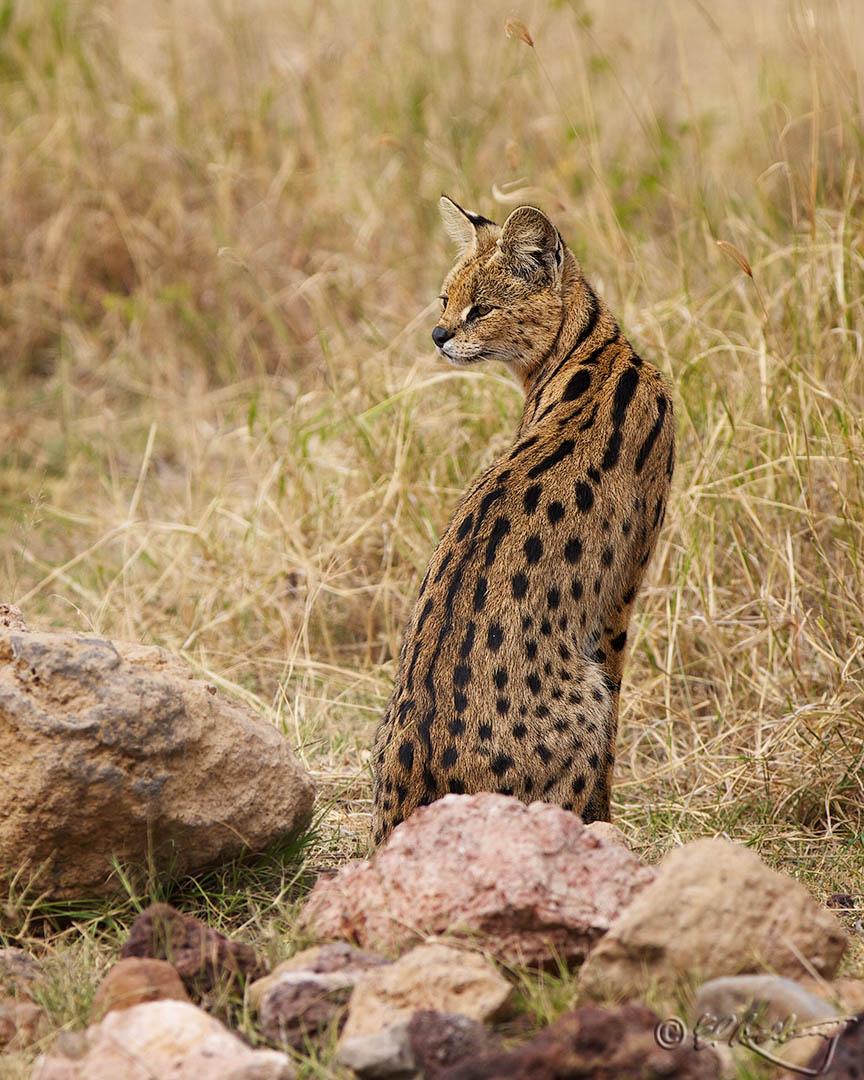Serval_Cat-c43