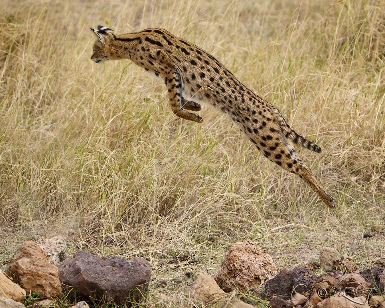 Serval_Cat_in_flight-c65