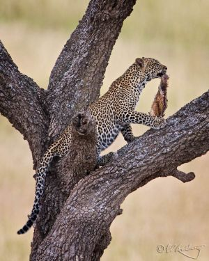 Young Leopard climbs tree