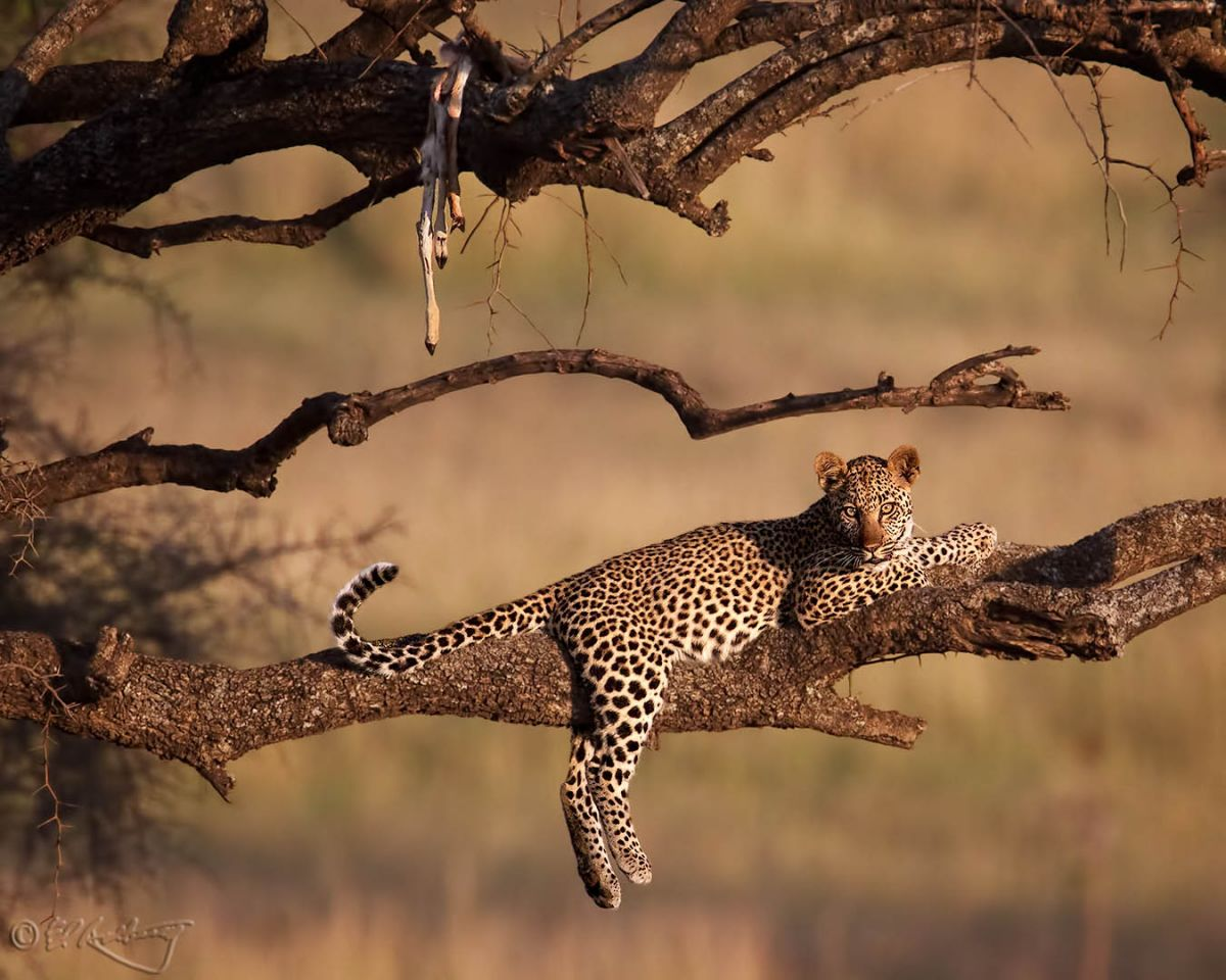 Young Leopard in tree-c5.jpg